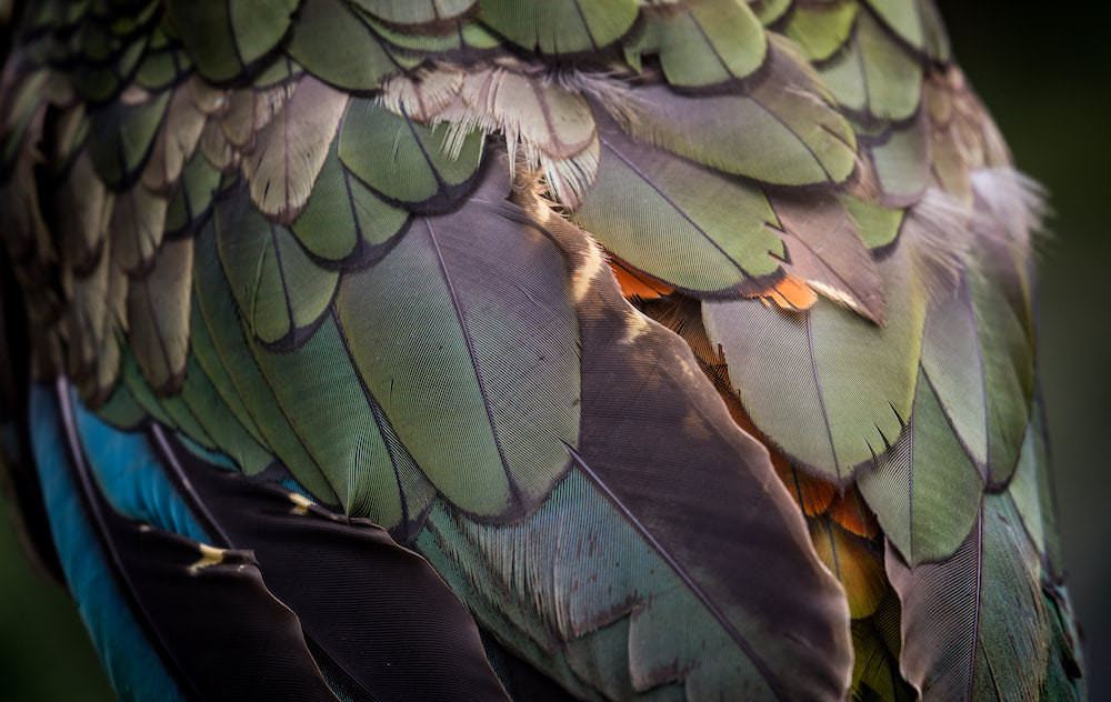 Kea Feather Closeup